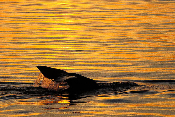 Sperm Whale at sunset