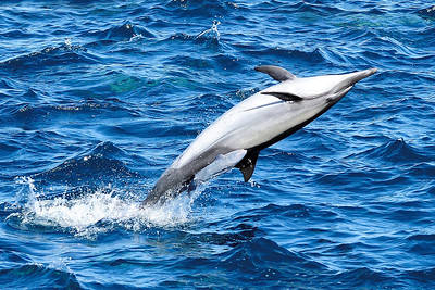 Common Dolphin with Remora
