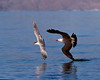 Elegant Tern Attacked by Heermann's Gull: The Chase