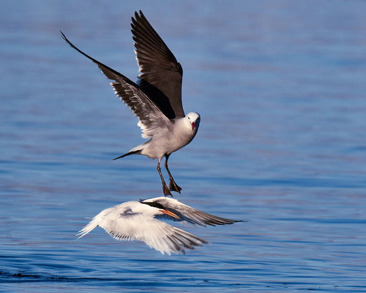 Elegant Tern Attacked by Heermann's Gull: Initiation - M