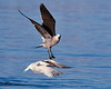Elegant Tern Attacked by Heermann's Gull: Initiation - M