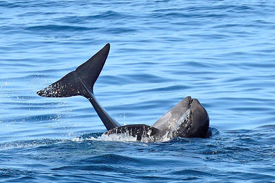 Young Pilot Whale -M
