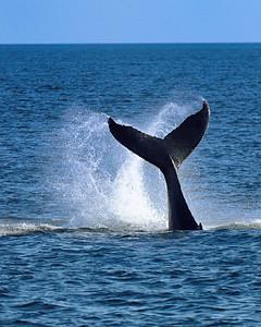 Humpback Whale -M