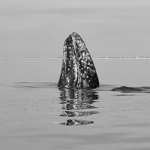 Gray Whale Spy-Hopping - M