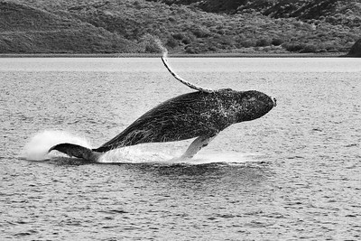 Humpback Whale in Breach 1 - M