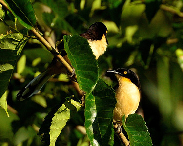 Black Capped Oonocobius - M