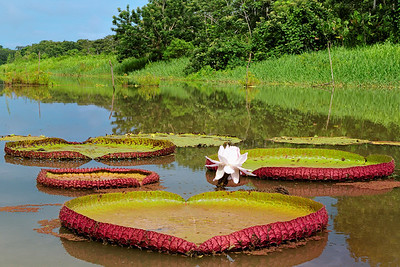 Giant Lillies