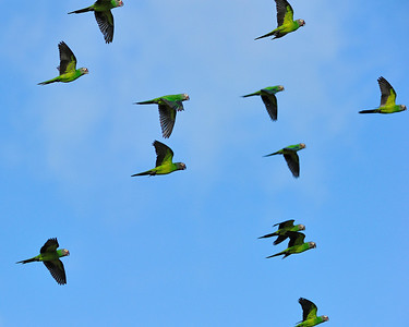 Parrot Flock in Flight