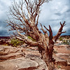 Old Utah Pine, Dead Horse Point, Canyonlands