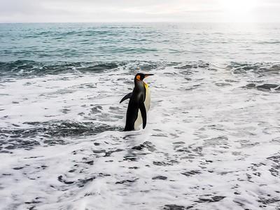 King penguin going for a swim...
