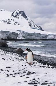 Southern Gentoo Penguin in the South Shetland Islands, Antarctica