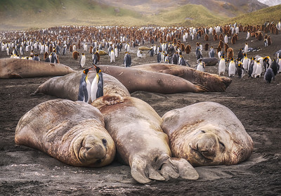 King Penguins and Elephant Seals on South Georgia Island