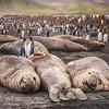 King Penguins and Elephant Seals on South Georgia Island