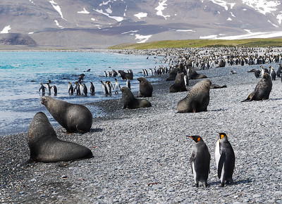 King Penguins and Fur Seals on South Georgia Island, South Atlantic Ocean.
