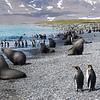 King Penguins and Fur Seals on South Georgia Island, South Atlantic Ocean.
