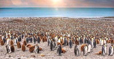 Sea of Penguins