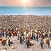 Sea of Penguins