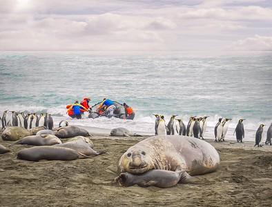 Elephant seals, fur seals, and king penguins. Not afraid of humans.