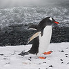 Southern Gentoo Penguin