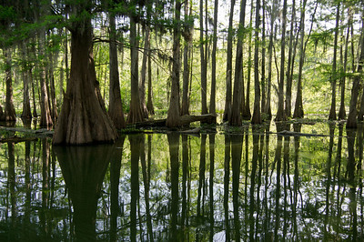 Atchafalaya Swamp, Louisiana