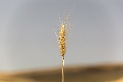 wheat, on the Palouse, Washington