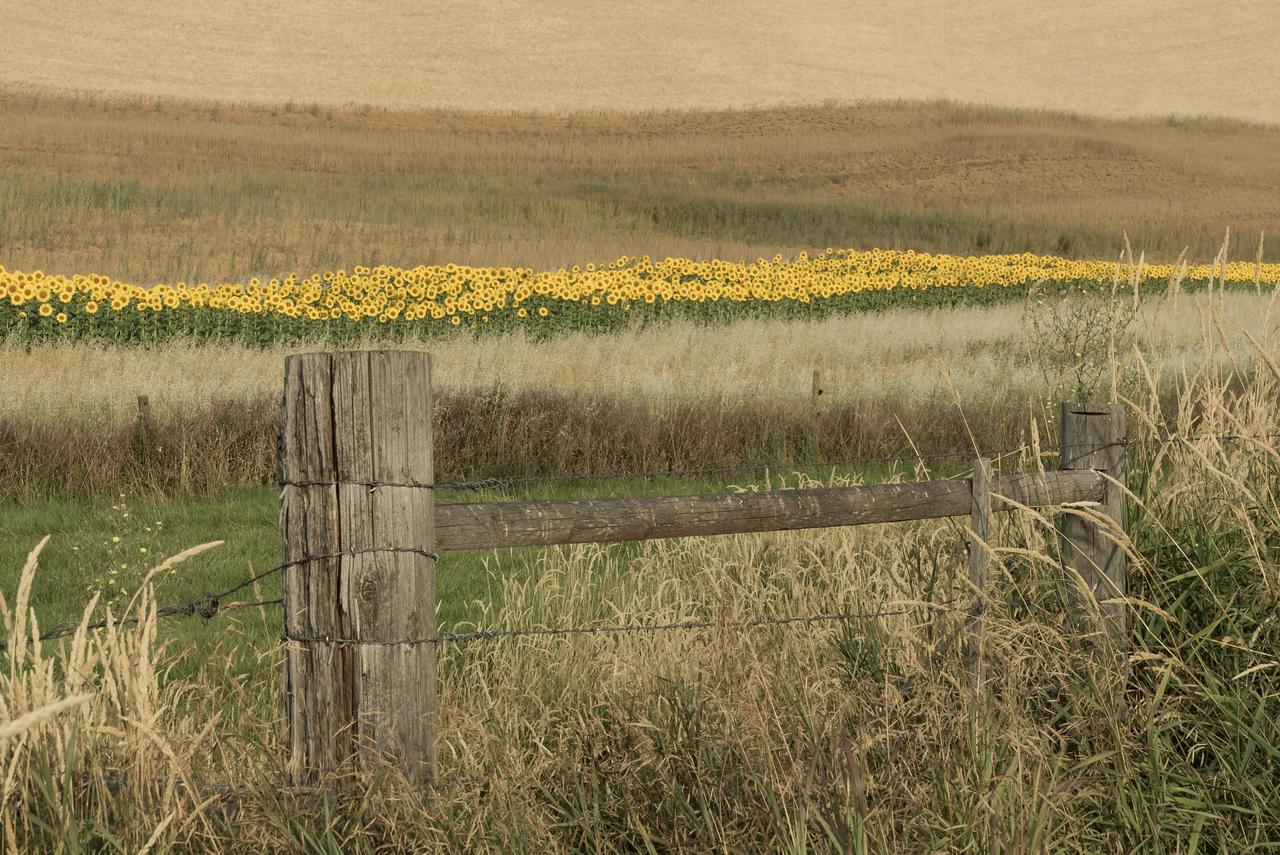 sunflowers, Steptoe, Washington