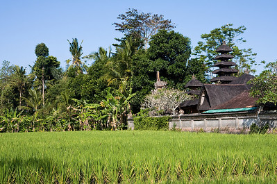 Rice field near Ubud