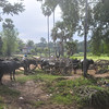 Cambodian country side, outside of Siem Rep - seeing the area on a water buffalo ride