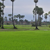 Cambodian country side, outside of Siem Rep - seeing the area on a water buffalo ride - beautiful rice fields