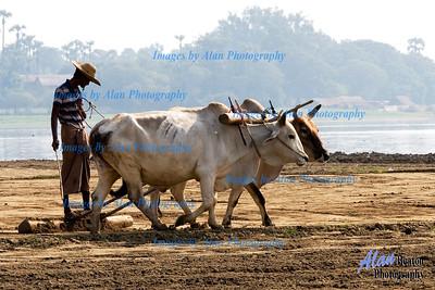 Farming near the U Bein Bridge