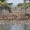 Ducks along the river