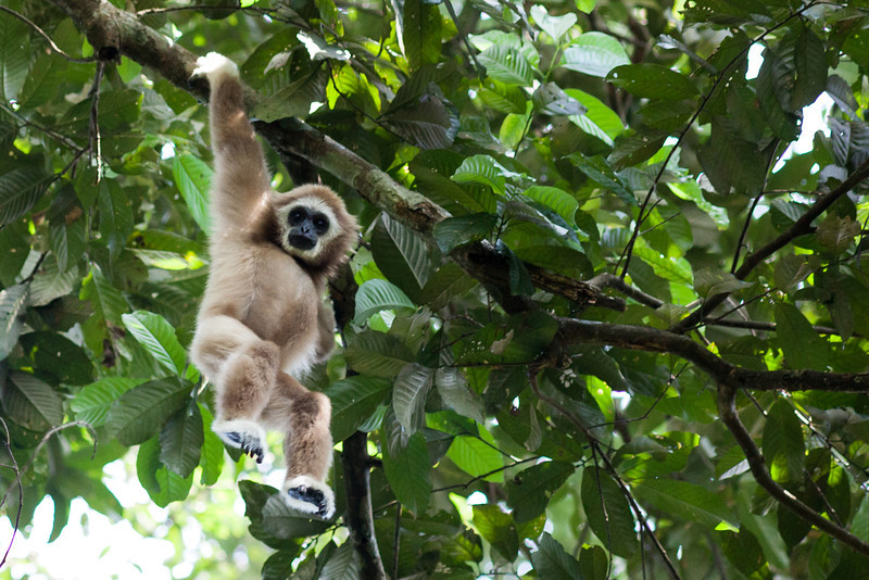 Gibbon, Gunung Leuser NP