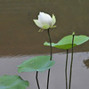 Lotus blossom near the Mekong River