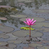 Along the road between Sukhothai and Chaing Rai -- beautiful water lily