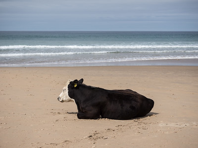 Dreaming of an ice cream....or maybe that would be a bit weird for a cow...