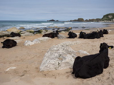 It's a beautiful beach, for human or cow.