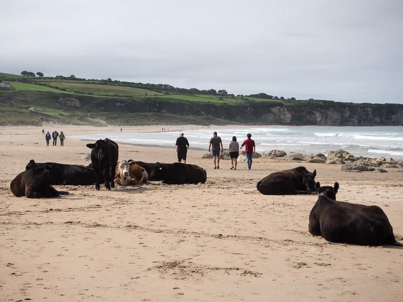 Other visitors to the beach passing through the herd. There was another herd further down the beach.