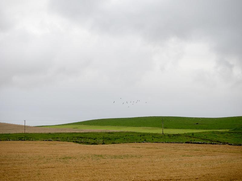 Geese flying near Skara Brae.