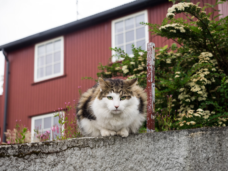 A very green-eyed Faroese cat!