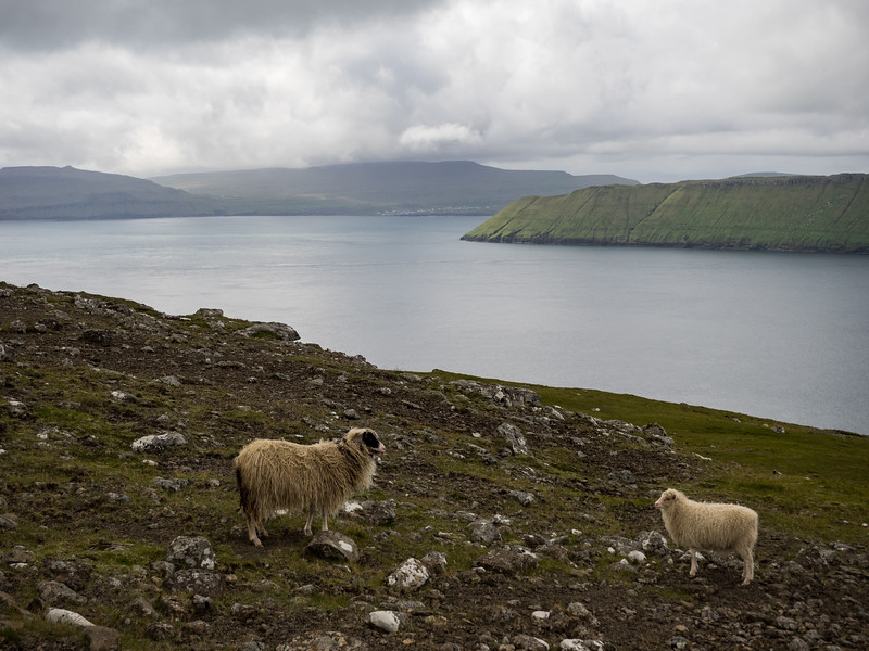 There are about 70,000 sheep in the Faroe Islands, and only about 50,000 people.