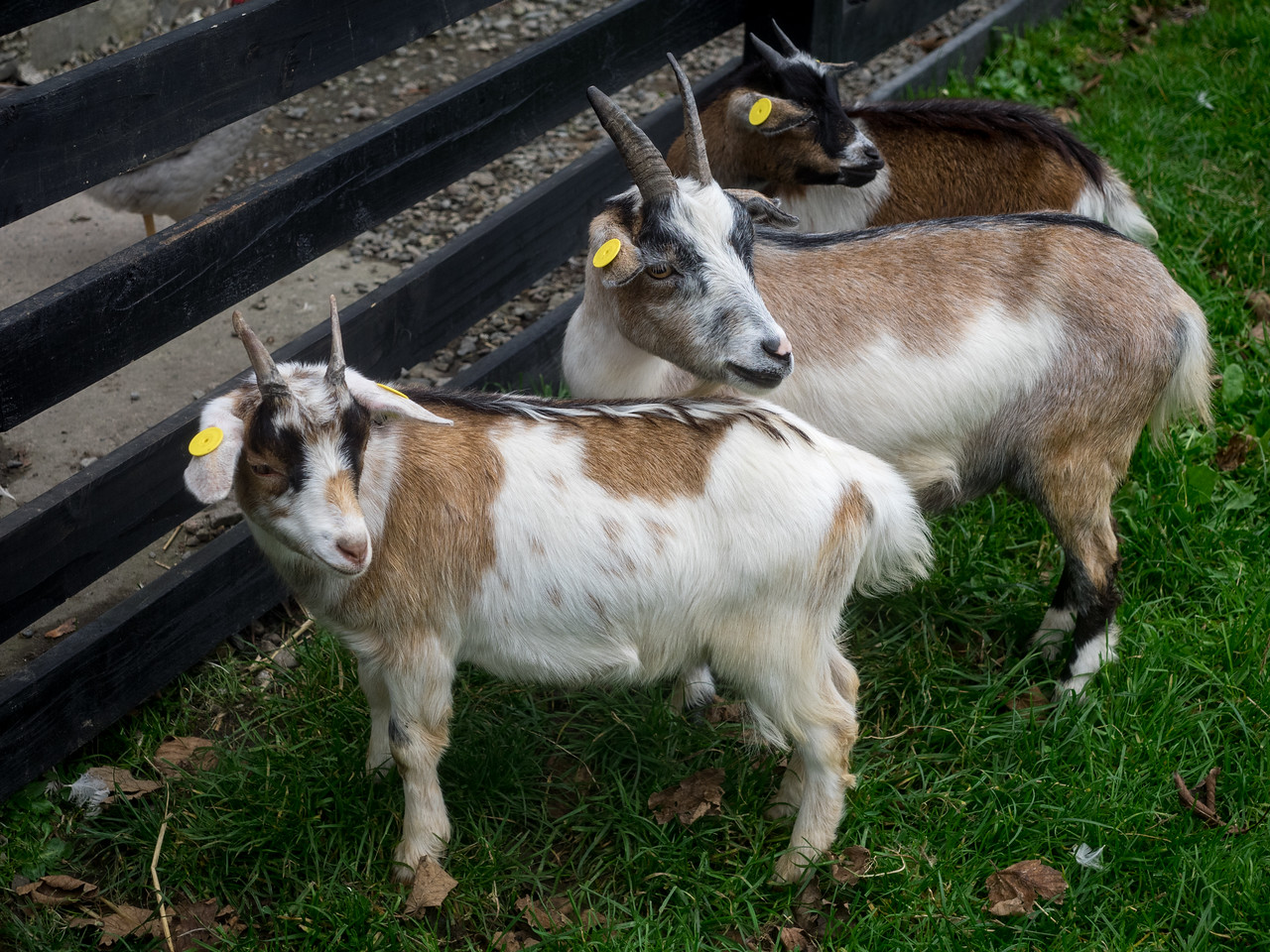 Three Billy Goats Gruff...