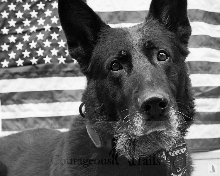 K-9 Havoc, Burlington PD, Burlington, MA
