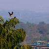 Goa - looks like an eagle to me