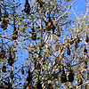 large fruit bats just hanging around in the trees