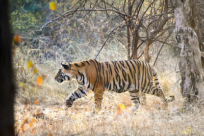 our first sighting of the tiger