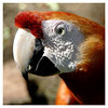 A wise old parrot? - devils Island now is ike a zoo where the animals roam all over the place. Parrots, pheasants, giant lizards, monkees, chickens, birds are just a few that call it home.