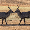 Water Buck sizing up