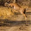Kudu leaping