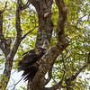 Young African Fish Eagle
