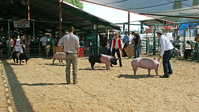 The judge watches as the young 4-H owners steered their pigs around the ring.